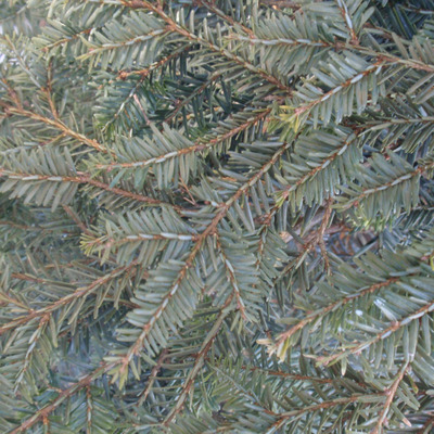 Tsuga canadensis 'New Gold'