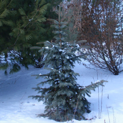 Picea pungens 'Snowkiss'