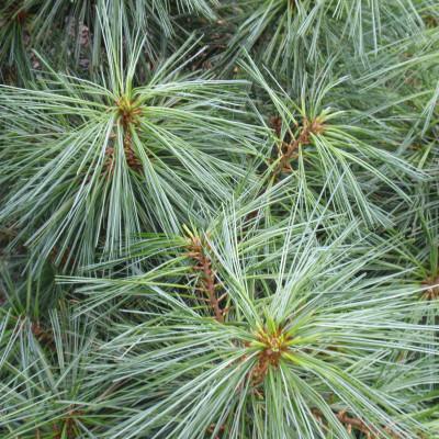 Pinus wallichiana 'Nana'