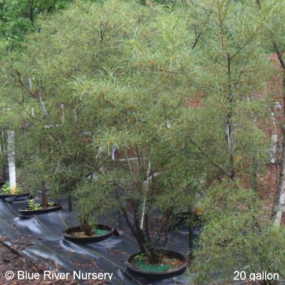Rhamnus asplenifolia