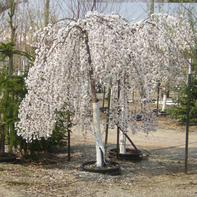 Prunus 'Snowfountain'