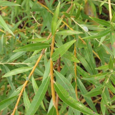 Salix alba 'Tristis Niobe'