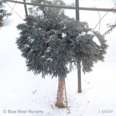 Juniperus squamata 'Blue Star' on a Std.