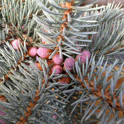 Picea pungens 'Pendula' 1