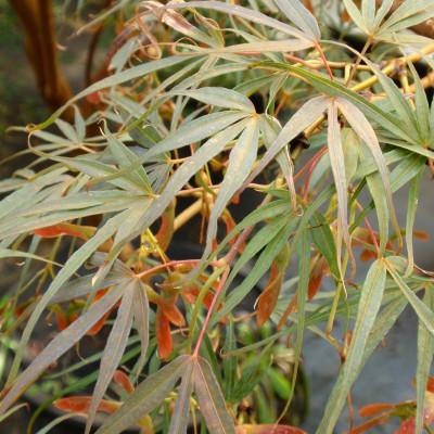 Acer palmatum 'Red Spider'