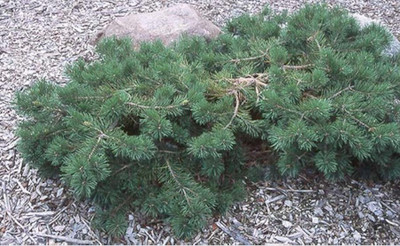 Pinus sylvestris 'Hillside Creeper'