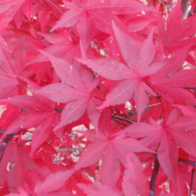 Acer palmatum 'Fireglow' 1
