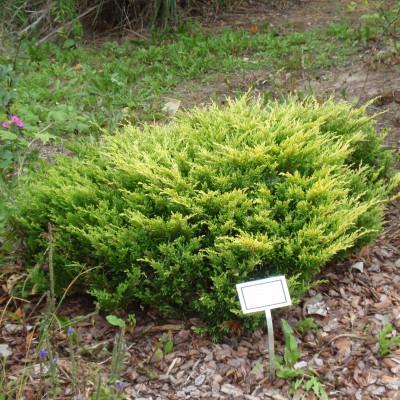 Juniperus horizontalis 'Limeglow'