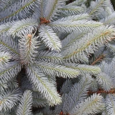 Picea pungens 'Fat Albert' 1