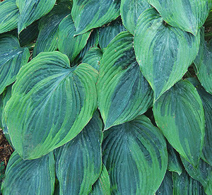 Hosta 'Devil's Advocate'