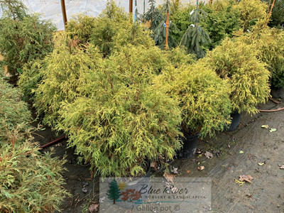 Chamaecyparis pisifera filifera 'Lemon Thread'
