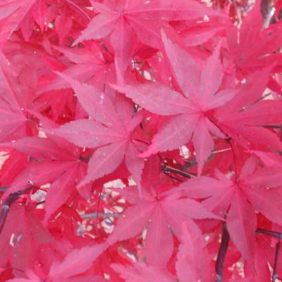 Acer palmatum 'Fireglow' 7