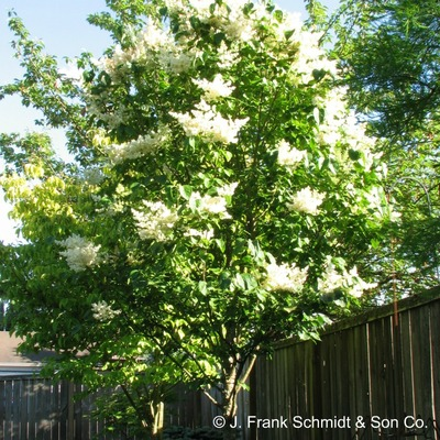 Syringa reticulata 'Ivory Silk' tree form