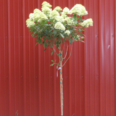 Hydrangea paniculata 'Limelight' Patio Tree