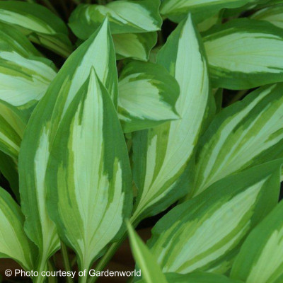 Hosta 'Cherry Berry'
