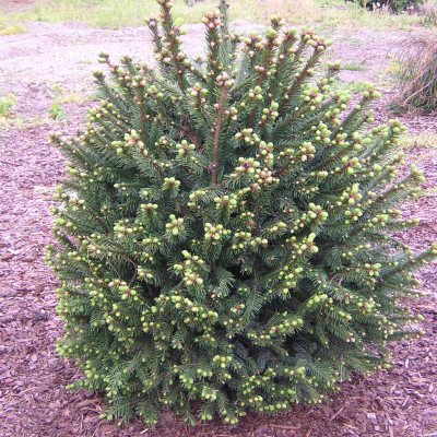 Picea abies 'Clanbrassiliana Stricta'