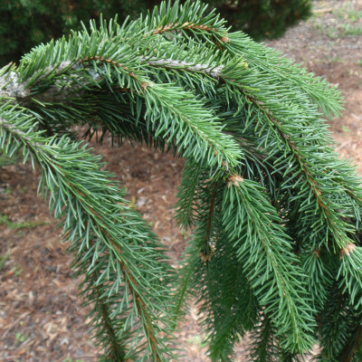 Picea abies 'Cobra'