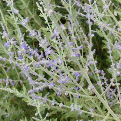 Perovskia atriplicifolia 'Little Spires'