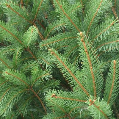 Picea abies 'Cupressina'