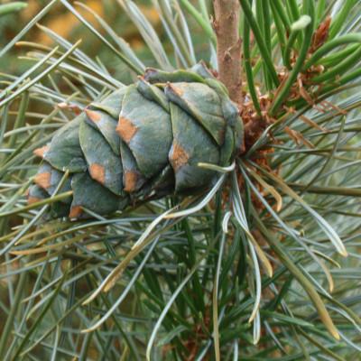 Pinus hakkodensis