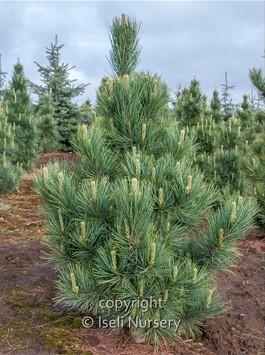 Pinus cembra 'Silver Sheen'