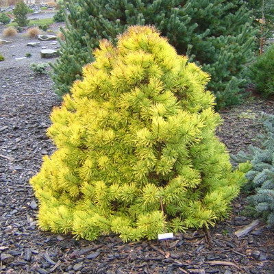 Pinus sylvestris 'Gold Coin' 3