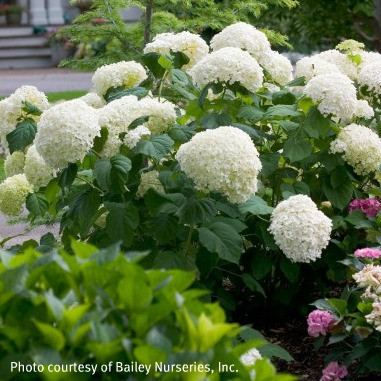 Hydrangea arborescens 'Abetwo'
