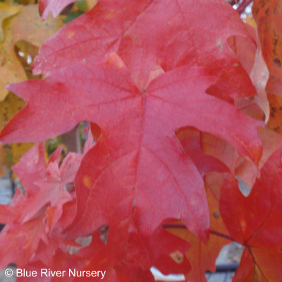 Acer saccharum 'Bailsta' Fall Fiesta