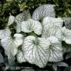 Brunnera macrophylla 'Alexanders Great' Photo(s) courtesy of TERRA NOVA® Nurseries, Inc. www.terranovanurseries.com