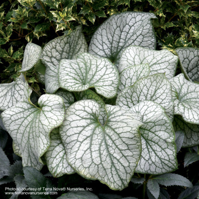 Brunnera macrophylla 'Alexanders Great' Photo(s) courtesy of TERRA NOVA® Nurseries, Inc. www.terranovanurseries.com
