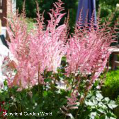 Astilbe chinenis 'Mighty Pip'