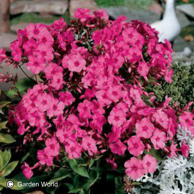 Phlox paniculata 'Pink (Flame)'