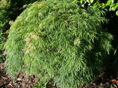 Acer palm. dissectum 'Waterfall'
