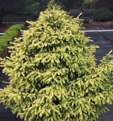 Picea abies 'Perry's Gold'