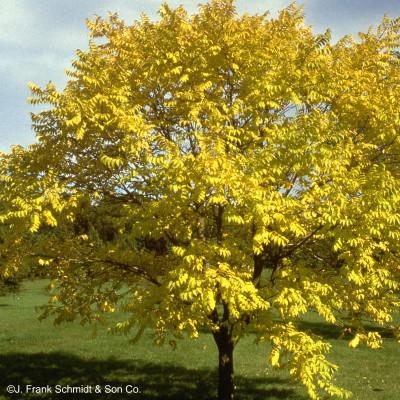 Phellodendron lavallei 'Longenecker' Eye Stopper