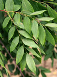 Gymnocladus dioicus 'Espresso'