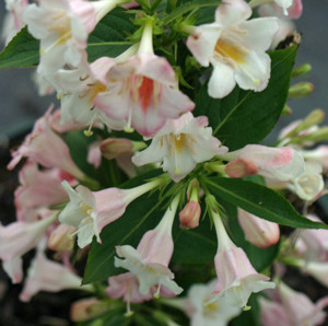 Weigela 'Sonic Bloom Pearl'