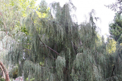 Juniperus scopulorum 'Weeping Blue'