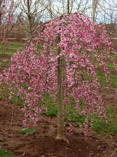 Prunus 'Pink Cascade'