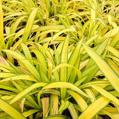 Carex siderosticha 'Banana Boat'