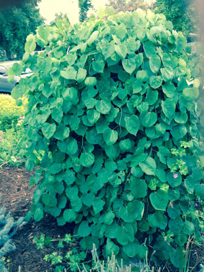 Cercis canadensis 'Covey' 1
