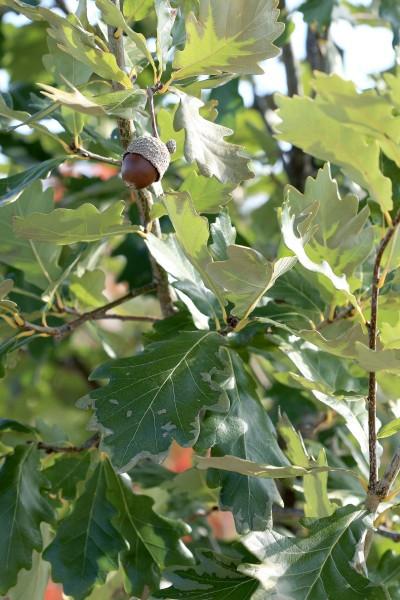 Quercus macrocarpa x robur 'Clemons' Heritage