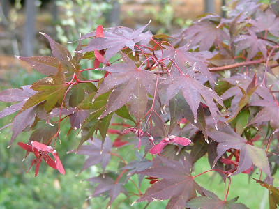 Acer palmatum 'Samarzam' Samurai Sword