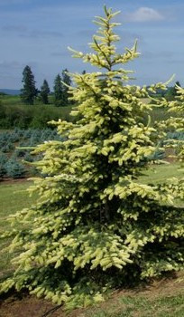 Picea pungens 'Golden Feathers'