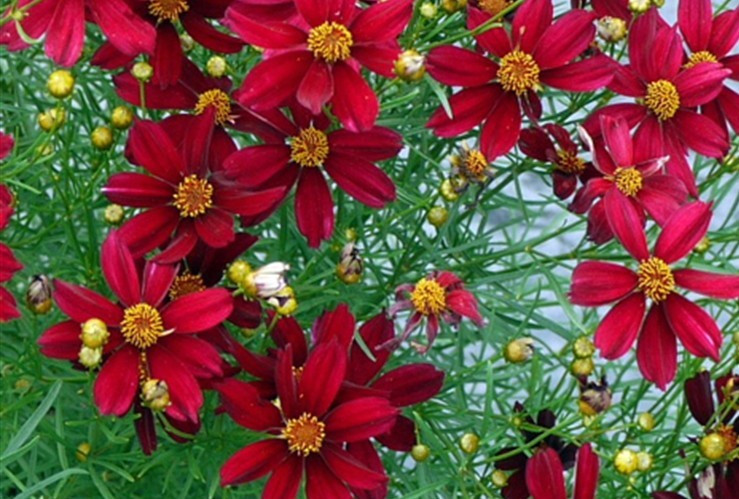 This plant is the real deal, hardy and beautiful! Once 'Red Satin' is established it is low maintenance bliss.