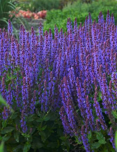 Salvia nemerosa Color Spires 'Violet Riot'