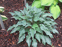 Hosta 'Rhythm and Blues'