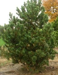 Pinus mugo 'La Cabana'