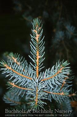 Picea omorika x pungens 'Troemner'