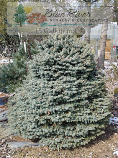 Picea pungens 'Ferrance Skirt' on std